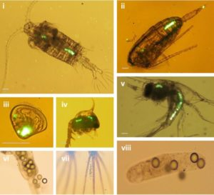 Microplastic ingestion by zooplankton